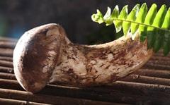 小金松茸产地在哪里松茸的功效与作用